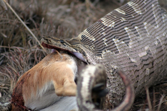Rock python swallowing an ungulate. Photo by Alex Griffiths*