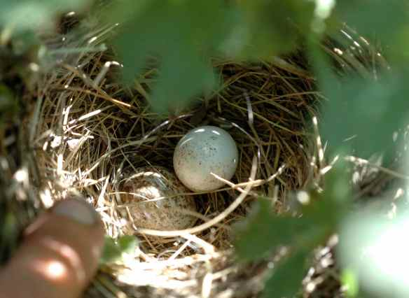 This nest had two chicks in it; when we took them out to band them, we found two unhatched eggs. The lighter one is a junco egg; the dark one is a cowbird egg. These juncos were lucky that the cowbird egg didn't hatch!