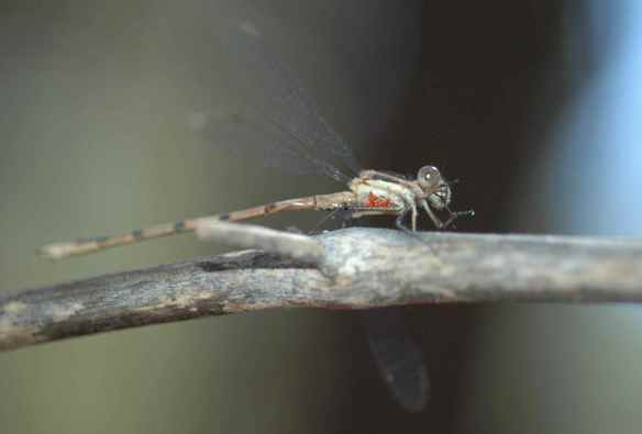 This damselfly has had eggs laid on it (the orange things)!