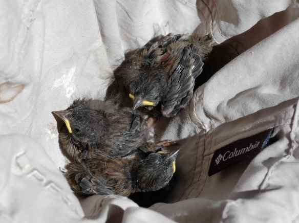 Nestlings in a hat, waiting to be banded.