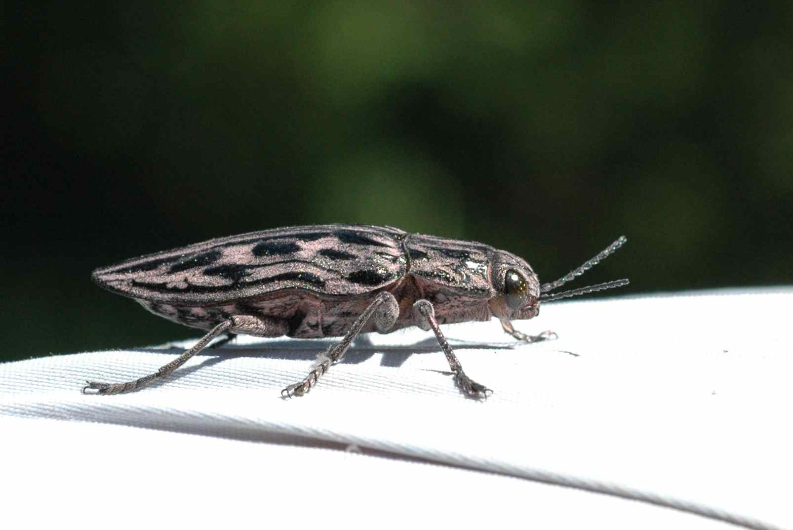 The coolest insect I've ever seen in person. It looked like a piece of enameled jewelry.