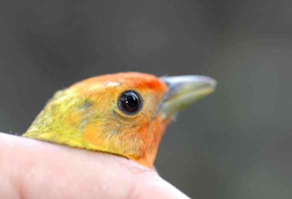 The male Western Tanager we accidentally caught. So beautiful.