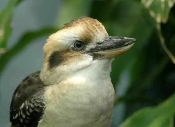 Kookaburra checks EVERYTHING. Don't even try to get anything past those blue eyes.