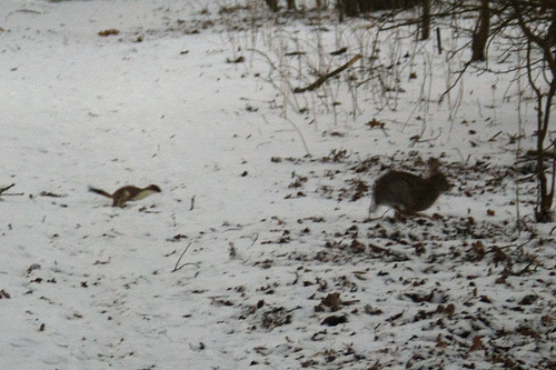Stoat chasing a rabbit. Photo by cobaltfish*