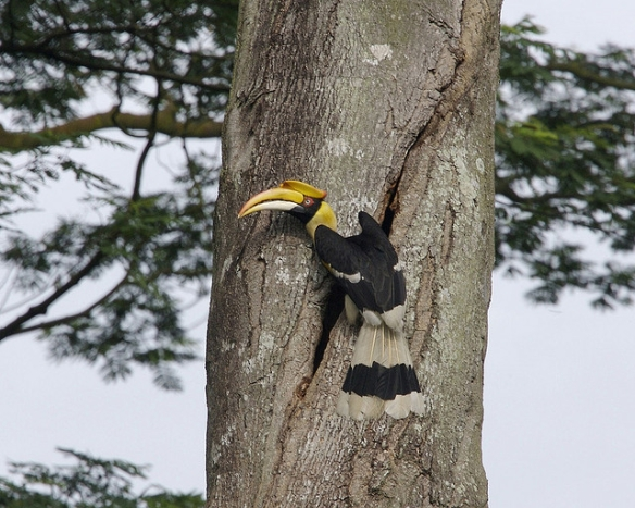Great Hornbill near a tree cavity. Photo by Kip Lee*
