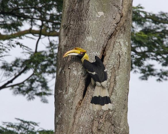 Great Hornbill near a tree cavity. Photo by Kip Lee*