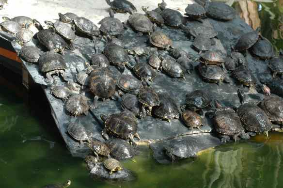 In the meantime, here is a lot of turtles.