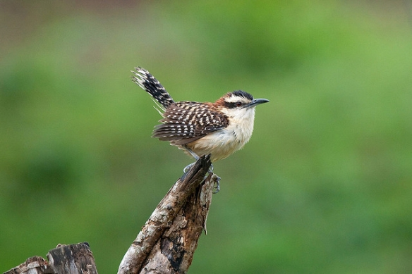 Rufous-naped Wren. Photo by Gerwin Filius*