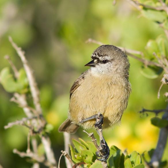 Southern Penduline-tit, a.k.a. Cape Penduline Tit. Photo by Craig Adam*