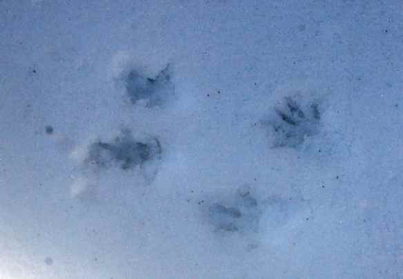 Chickaree tracks showing the individual toes.