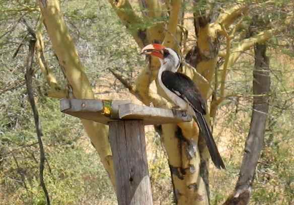 Von der Decken's Hornbill enjoying not being walled up behind feces inside a tiny hole