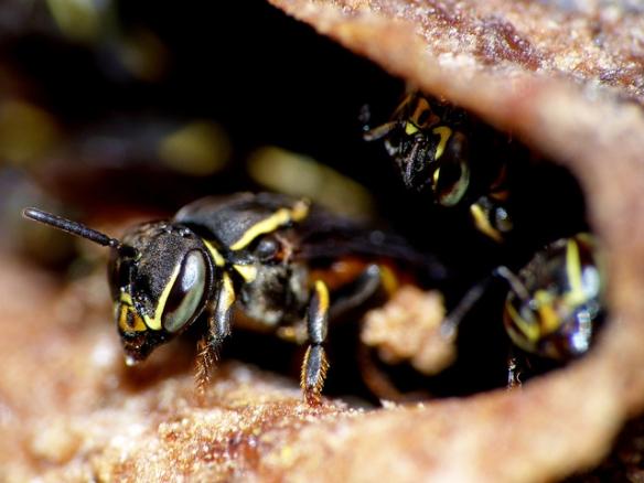 Wasps. Photo by Hugo A. Quintero G.*