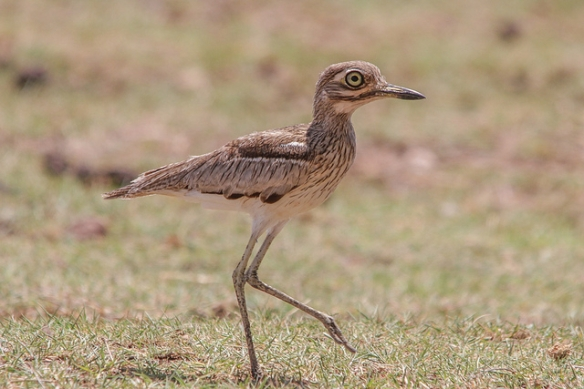 Water Thick-knee. Photo by Peter Steward*