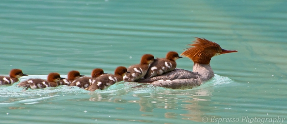 """Some conferring with my colleagues yields a split between calling these baby mergansers """"ducklings"""" or """"mergoslings,"""" but I'm including them anyway. Photo by Liz St. Jean Photography*"""