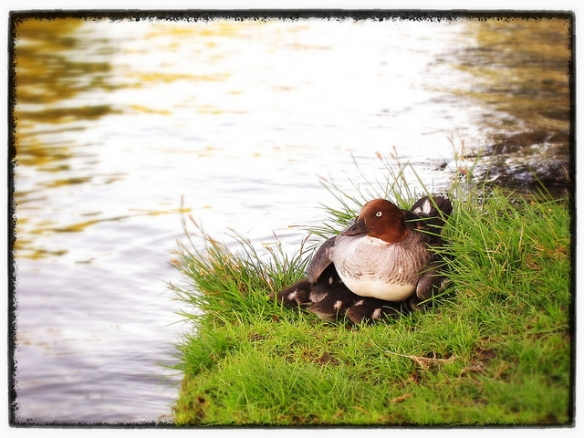 Nobody's getting at these Common Goldeneye ducklings without going through Mom first. Photo by Geir Friestad*
