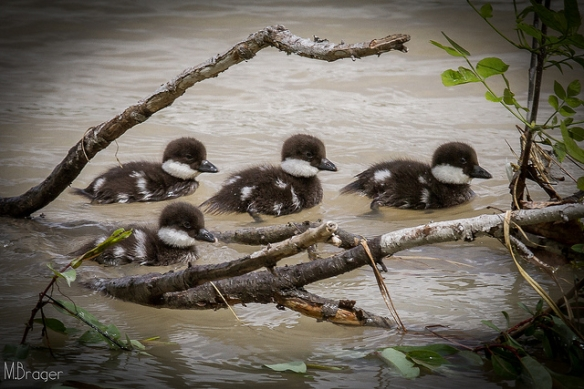 Common Goldeneye ducklings. Photo by skinnybrager*