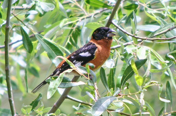 Male Black-headed Grosbeak. Photo by Jamie Chavez*