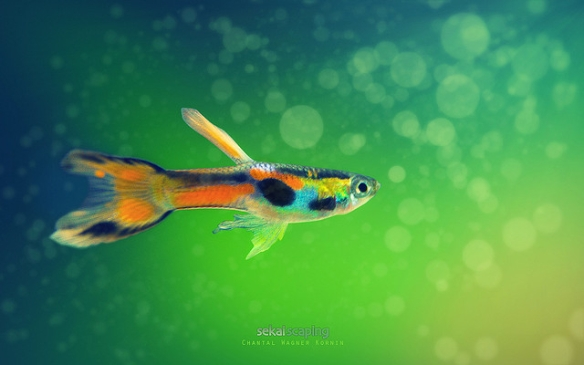 Male guppy (some sort of domestic hybrid, but displaying the kind of color patches that wild male guppies have). Photo by Chantal Wagner Kornin*
