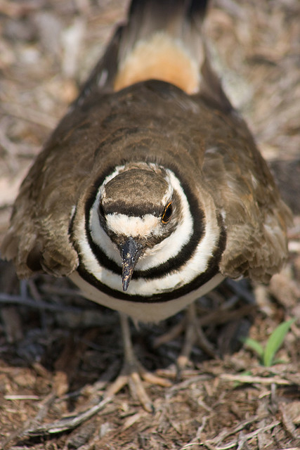 The black and white rings on a Killdeer's neck break up its outline. Photo by Nicole Mays*