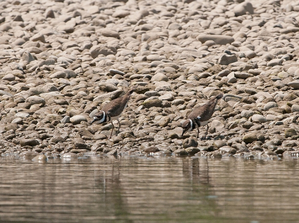 Killdeer, surprisingly hard to see against the rocks because of their disruptive neck markings. Photo by Sergey Yeliseev*