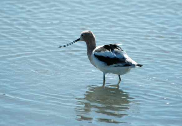 American Avocet: eating something small from the mud.