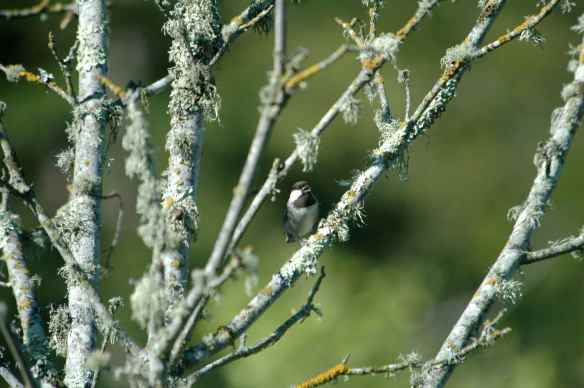 Chestnut-backed Chickadee: shouting at the world.