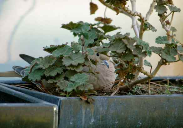 Mourning Dove: sitting on her nest.