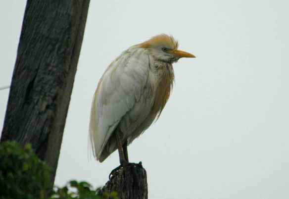 Cattle Egret: being grumpy. (Hey, sometimes you just have to be grumpy.)