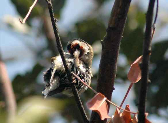 European Goldfinch: giving himself a much-needed preen.