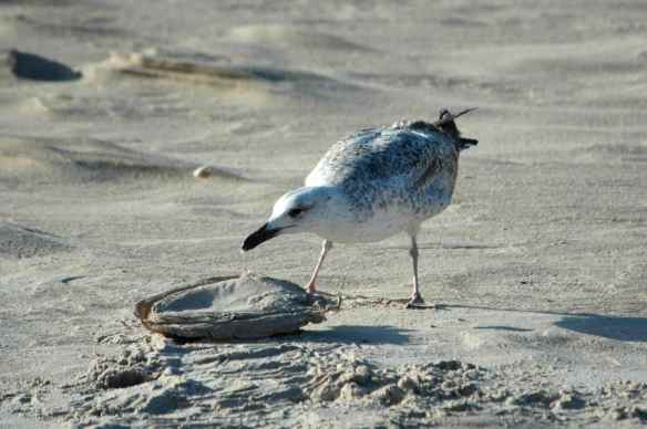 Gull: eating garbage.