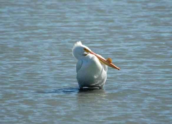American White Pelican: basking in the sun.