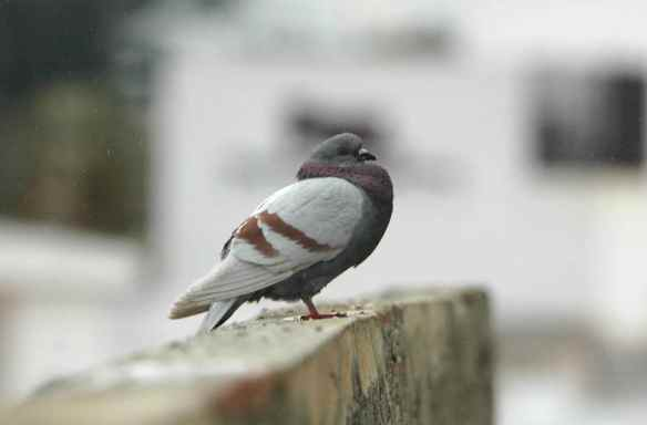 Another Spanish feral pigeon: guarding the city walls.