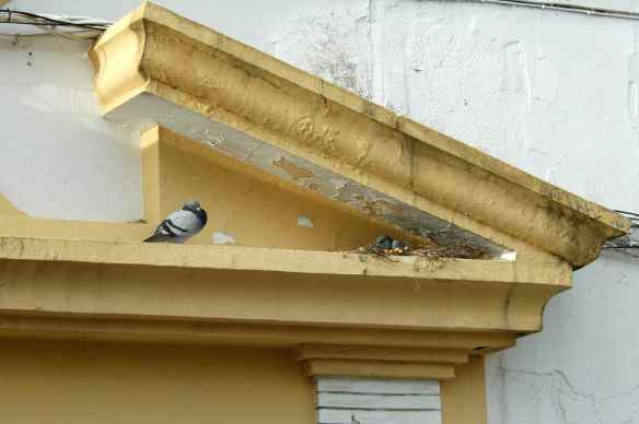 Feral pigeons (but in Spain!): sitting on the nest/keeping the nest-sitter company.