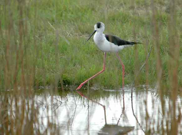 Black-winged Stilt: taking big steps with care.