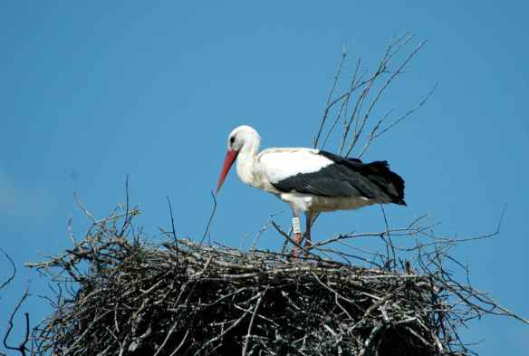 White Stork: making sure all the sticks are in the right place.