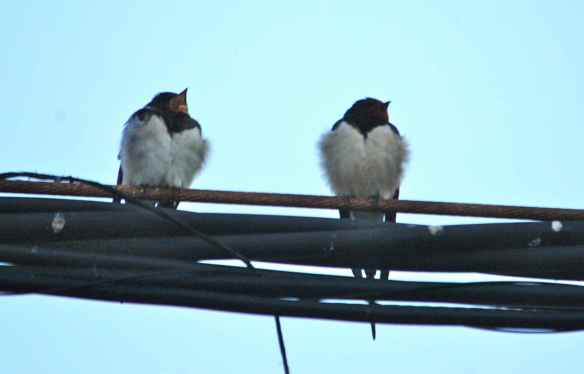 Barn Swallows: getting ready for bed. (That's a yawn.)