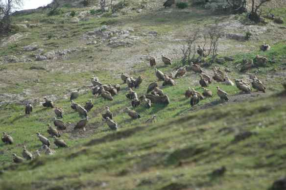 Griffon Vultures: having a meeting.
