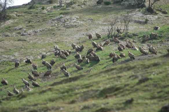 Griffon Vultures: having a meeting.