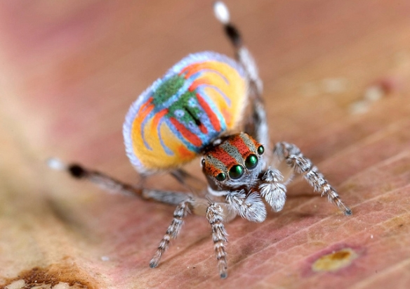 Peacock spider display. Photo by Jurgen Otto*