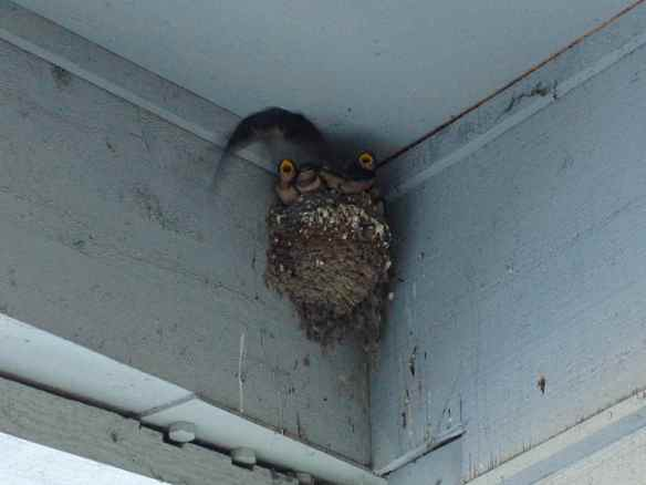 Barn Swallow parent flying in to feed the chicks.