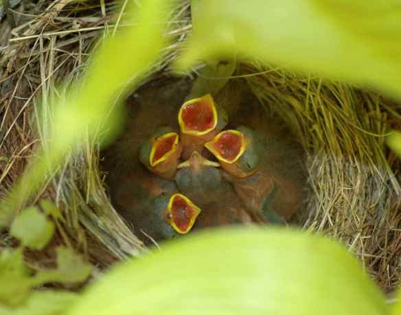 Hungry junco nestlings