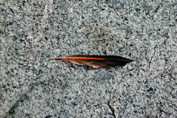 Northern Flicker feather - top