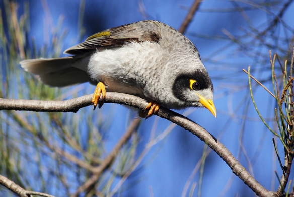 This Noisy Miner kind of looks like a hail stone. Photo by Leo*
