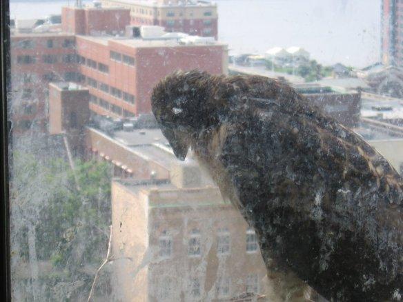 The last nestling left in the nest, mid-June.