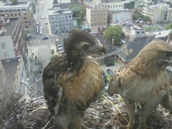 Early June: almost ready to fledge