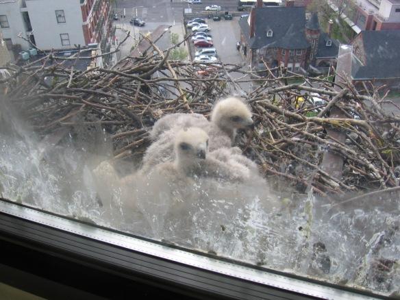 May: chicks getting bigger