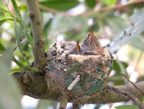 Hummingbird chicks. Photo by Cathy Cole*