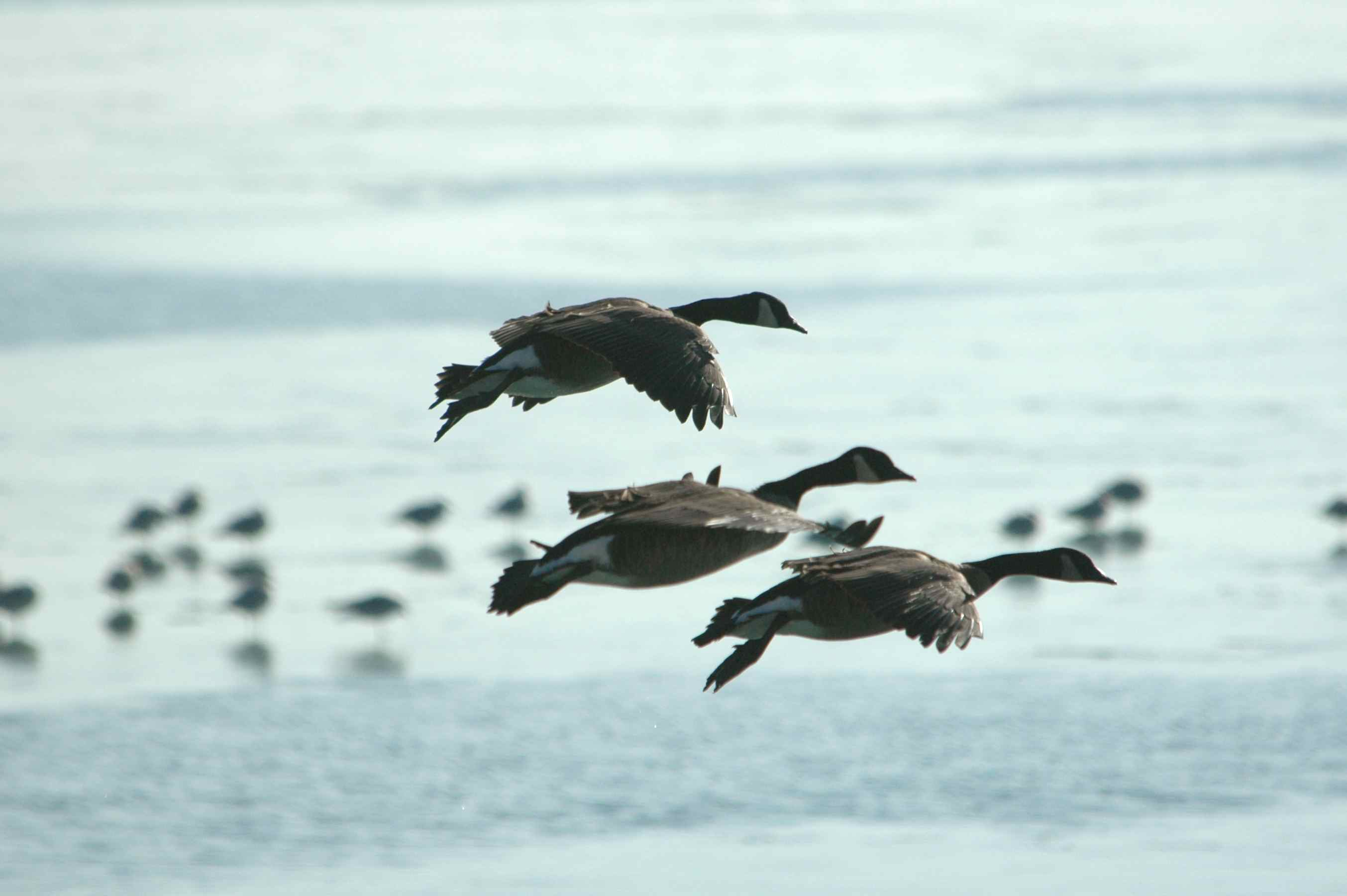 networks_geese