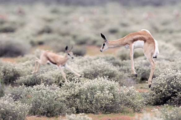 Springbok stotting. Photo by Yathin*