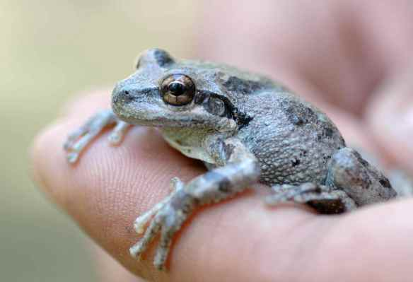Grey frog with spots